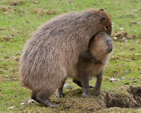 Capybaras and Rafael Nadal